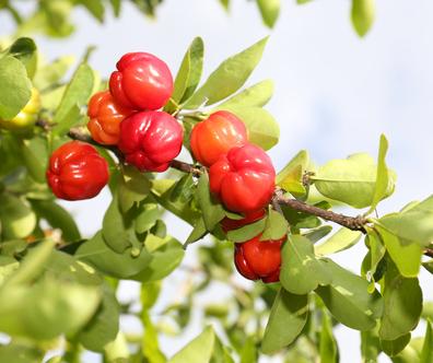 Acerola, vynikající zdroj přírodního vitaminu C